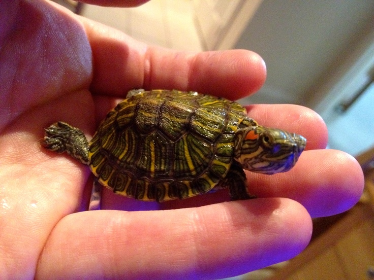 Long time ago when it was legal to have tiny red eared sliders, we had bought a few from Value Giant (similar to Wal-marts).  My turtle was named after a monster from Godzilla-Gamera.