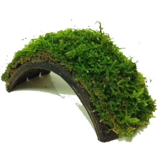 Very popular with Shrimp keepers no need to soak first as it will sink straight away providing an instant attractive lovely looking moss Java moss is
