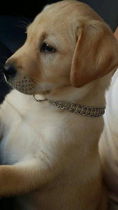Beautiful Lab Puppy !!