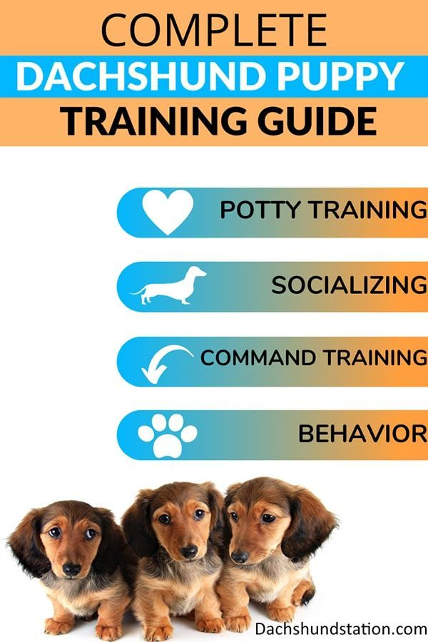 Easy Dachshund Puppy Training Complete Guide Puppy Training