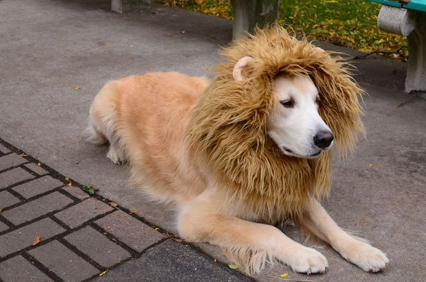 lion dog costume tutorial at Instructables. Jake's costume next year?