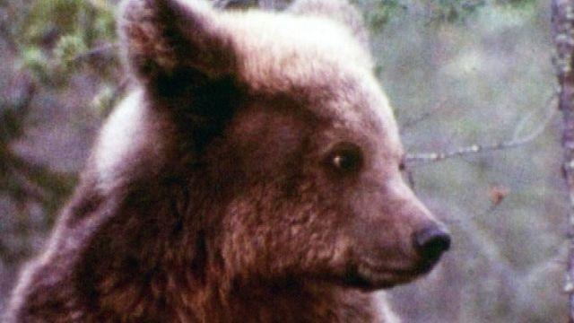 Suomen kansalliseläin karhu kömpii talven tullen muutaman kuukauden nokosille. Pimeimmän ja lumisimman kauden karhu köllöttelee pesässään vararavinnon turvin. Puolen vuoden unien jälkeen karhu kirmaisee taas kesän riemuihin.