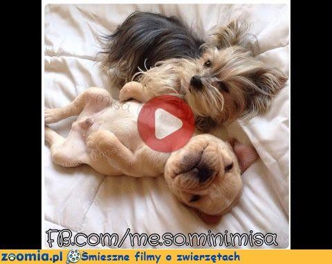 Buldożek Francuski Śmieszne Filmy Psy http://Zoomia.pl