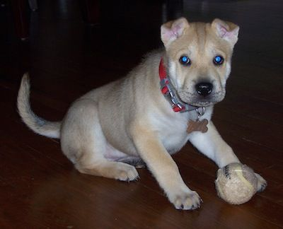 Sharberian Husky <3 I love my doggie!
