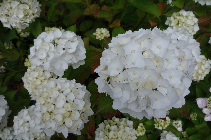 35 beste afbeeldingen over witte tuin op pinterest warm grijs planten en nigella - Sterke witte werpen en de bal ...