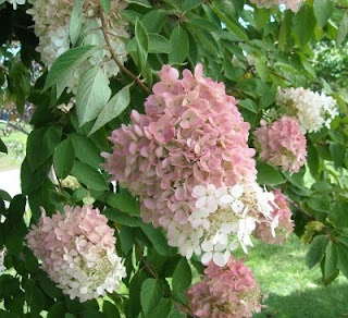 A Pee Gee Hydrangea....I'm having one put in this spring!