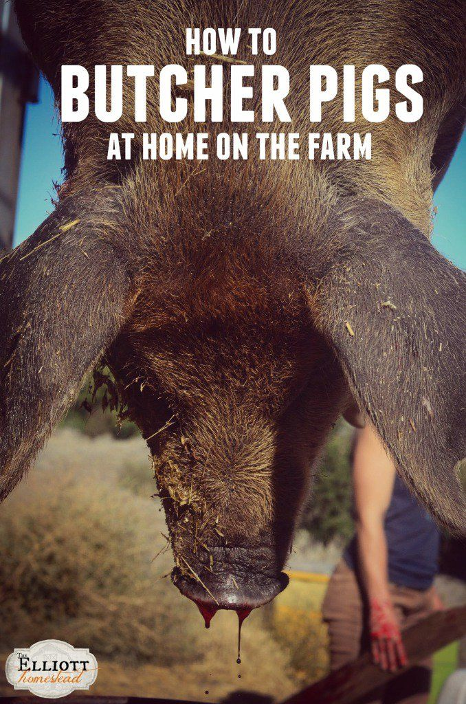 How To Butcher Pigs (At Home On The Farm) | The Elliott Homestead (.com)