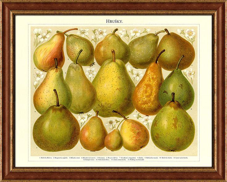 Staré odrůdy hrušek - prostě nádhera, kresba z konce 19. století