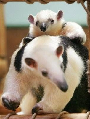 Tamandua mom and baby.