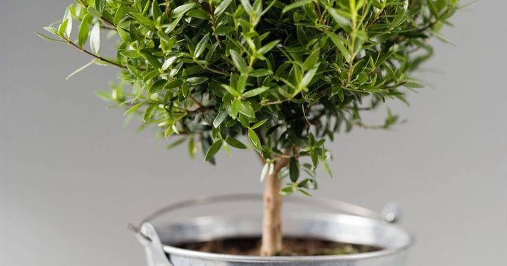 """¿Cuál es la mejor época del año para trasplantar un arbusto Buxus sempervirens?. El Buxus sempervirens o boj común es una planta de hoja perenne que debido a su crecimiento denso se utiliza mucho en la creación de setos y pantallas de privacidad en paisajes y jardines. EL boj común presenta una altura máxima de entre 10 y 15 pies (3 y 5 metros) y se conoce también como boj """"americano"""". Su follaje oblongo y ovalado suele tener ..."""