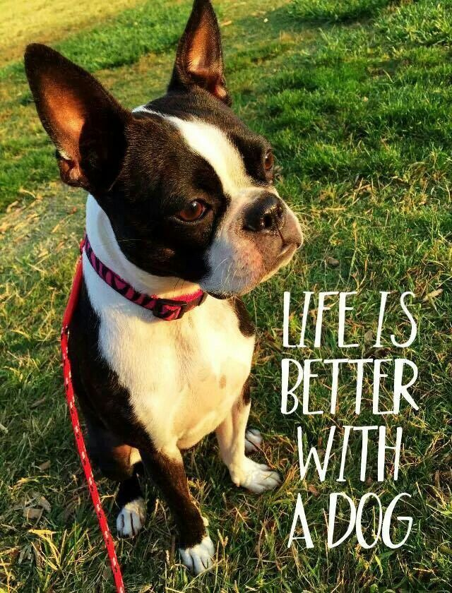 Life is better with a dog! - http://bostonterrierworld.com/life-is-better-with-a-dog/