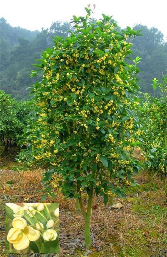 Sweet Olive, Fragrant Tea Olive (Osmanthus fragrans)