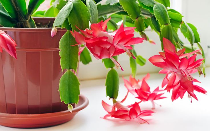 How to Grow and Care for Christmas Cactus