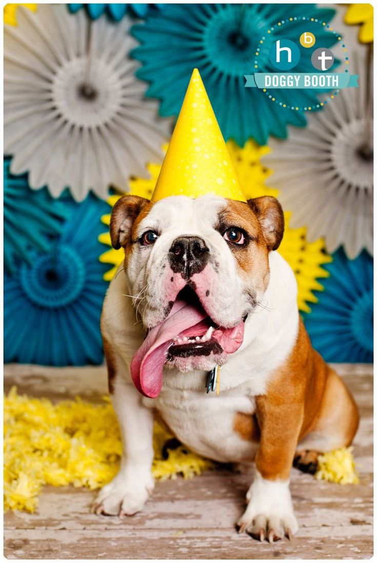 Bulldog Puppy Dog Pet Photography Hbt Doggy Booth Petphotography Dog Birthday Pictures Puppy Photography Dog Birthday