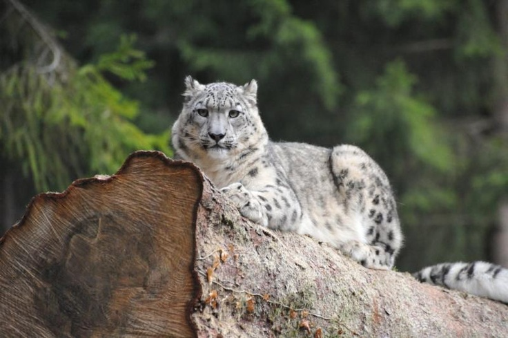 Milla, living in Zoo de Servion, Switzerland, came here in autumn 2010 from…