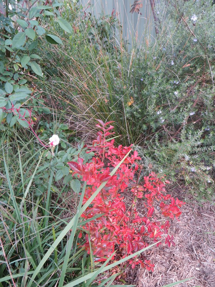 crepe myrtle in autumn