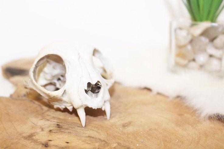 Ik heb als aandenken een schedel van een huisdier, wil je weten wat?