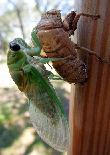 cicada leaving it's old shell...it's wings are rolled for the first few minutes till they unfurl and dry...it's fascinating to watch the process