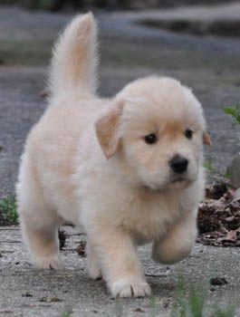 golden retrievers florida, golden retriever breeders florida, golden retriever puppies florida, crescent golden retrievers, whatnew
