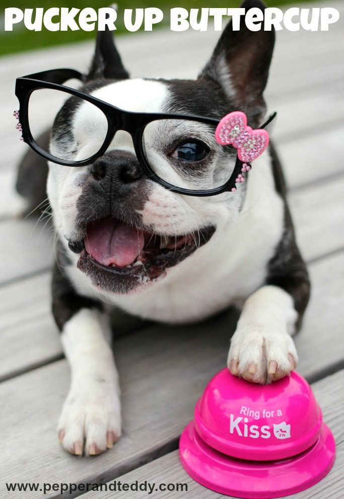 Pepper the Boston terrier. LOL!