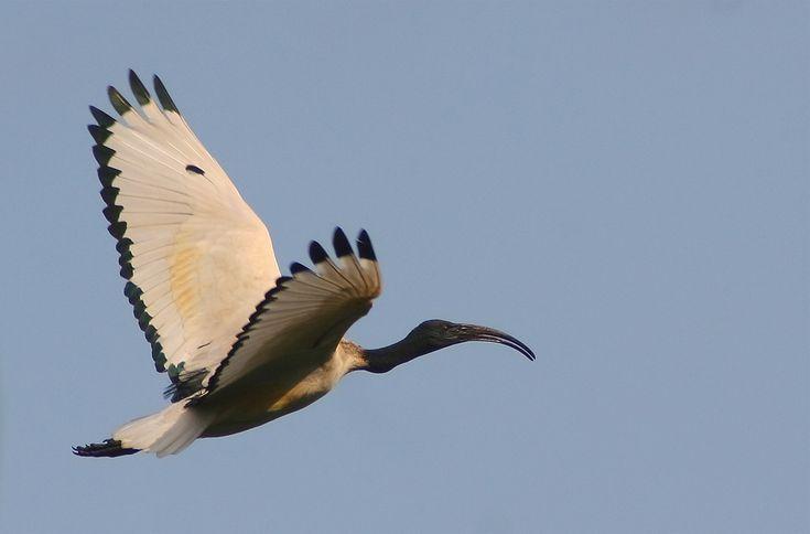 African Sacred Ibis (Threskiornis aethiopicus)  - is beautiful ...