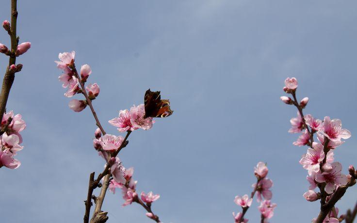 #Fiore di #pesco. Orto giardino di Barbanera. #Spello #Umbria #farfalla