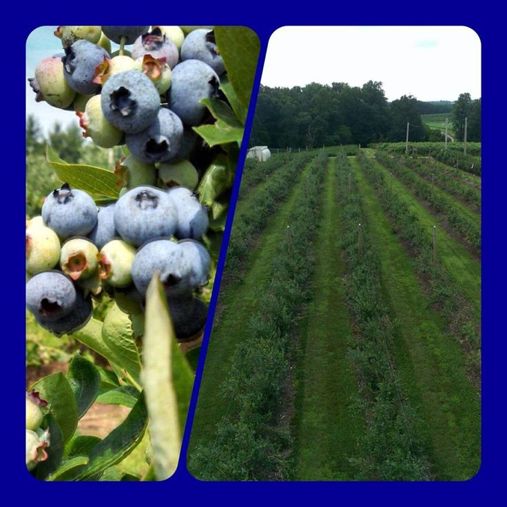 UPICK Blueberry Adventures are tons of fun!