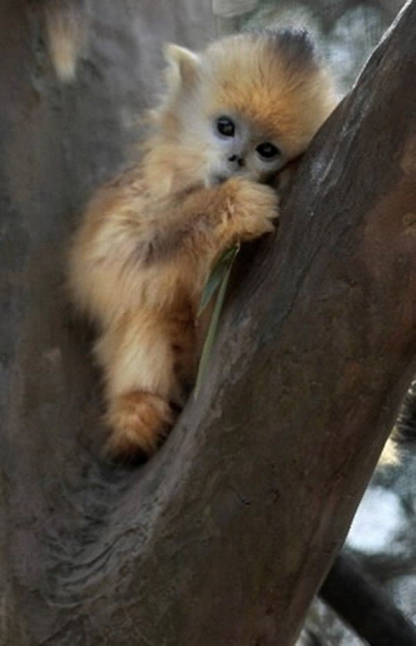 This is a baby Yunnan snub-nosed monkey - the most endangered of China's three snub-nosed monkey species. They live in the trees at a higher altitude than any primate other than humans!
