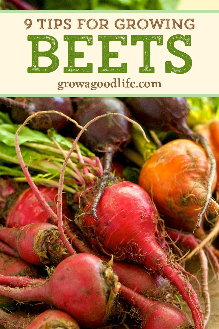 How To Grow Beets From Seed To Harvest Growing Beets Fall Garden Vegetables Garden Types