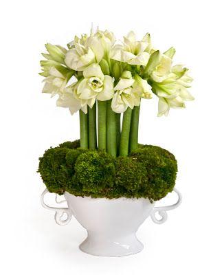 Hippeastrum White Amaryllis Garden Forcing Bulbs