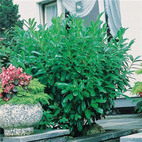Lagerhägg 50-60cm  - Prydnadsbuskar - Växter & plantor - Bygghemma.se