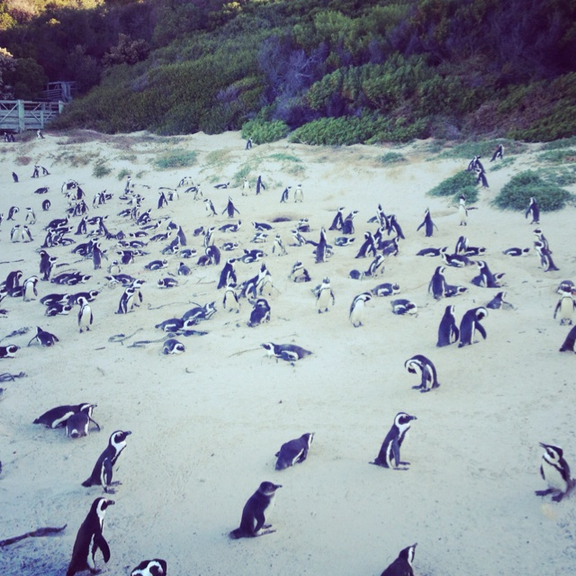 Tons of penguins on Boulders Beach in Cape Town, South Africa