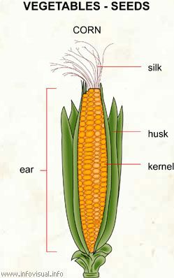 diagram gambar image result for parts of corn plant showing ears  how  image result for parts of corn plant showing ears  how