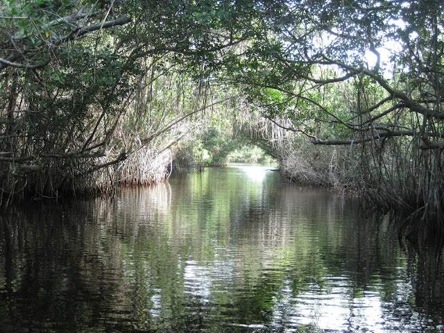 Mangroves again......Cayo Coco, Cuba.  A must see if you go there!