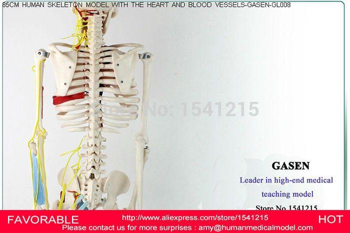 HUMAN ANATOMICAL SKELETON  WITH NEURAL VESSEL  BONES NERVES MEDICAL SKELETON MODEL HUMAN HEART MODEL SKELETON MODEL GASEN-GL008