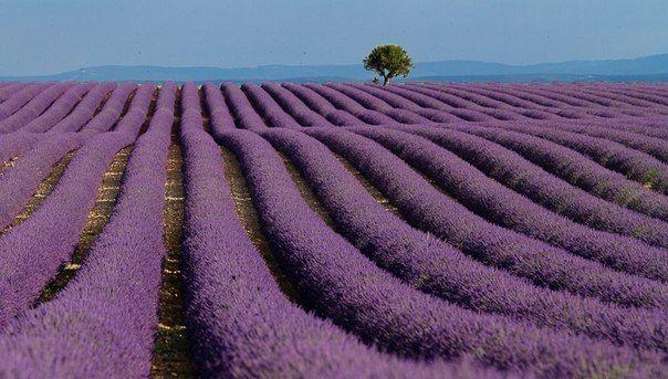 Поле лаванды, Прованс, Франция.