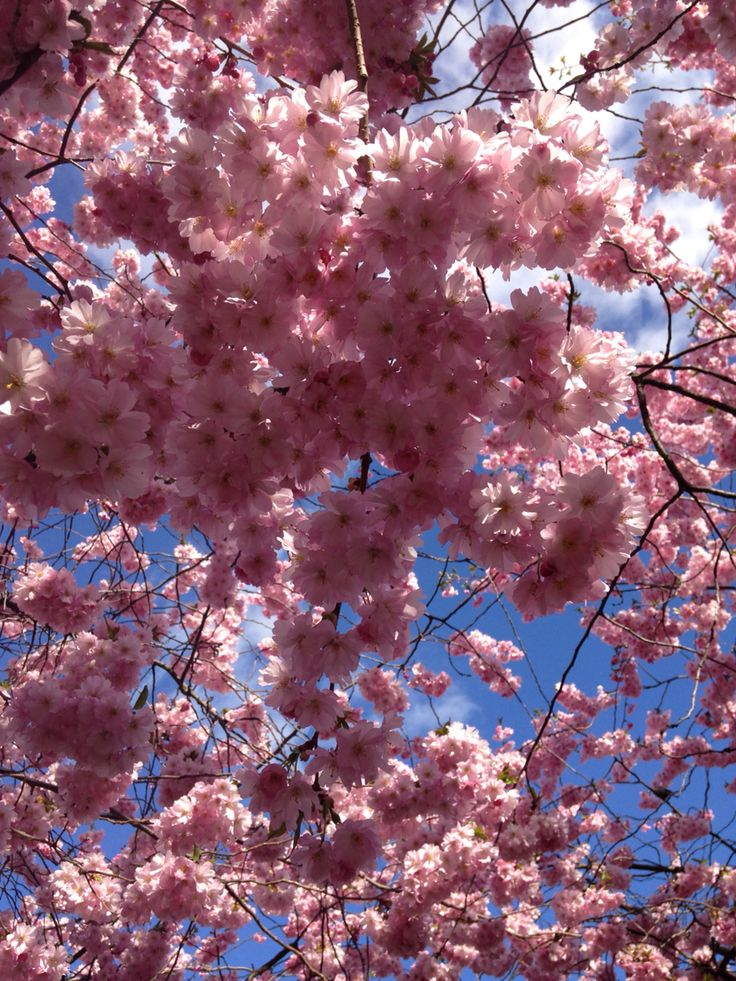 Cherry blossoms above my head, feels like there is thousands of butterfly's in my belly and to much love in the air!