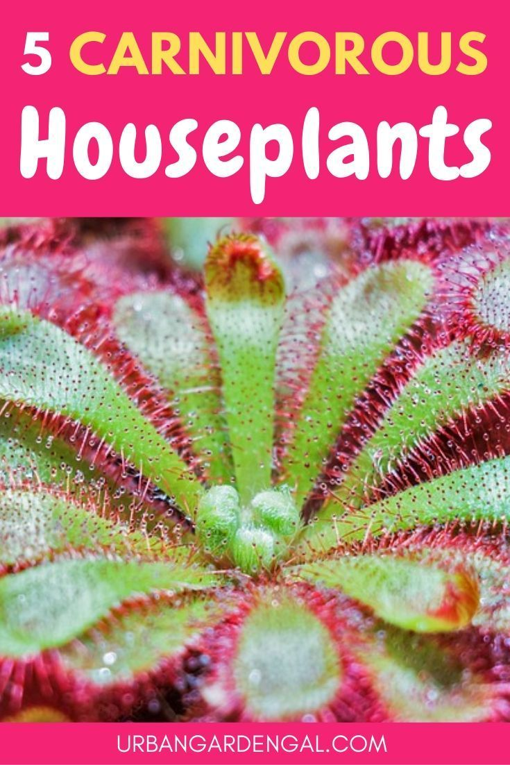 Carnivorous plants can be great houseplants. Here …