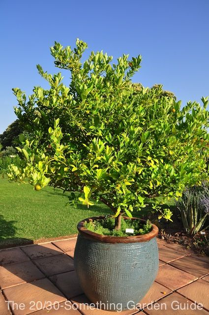 lime tree in a heavy glazed container