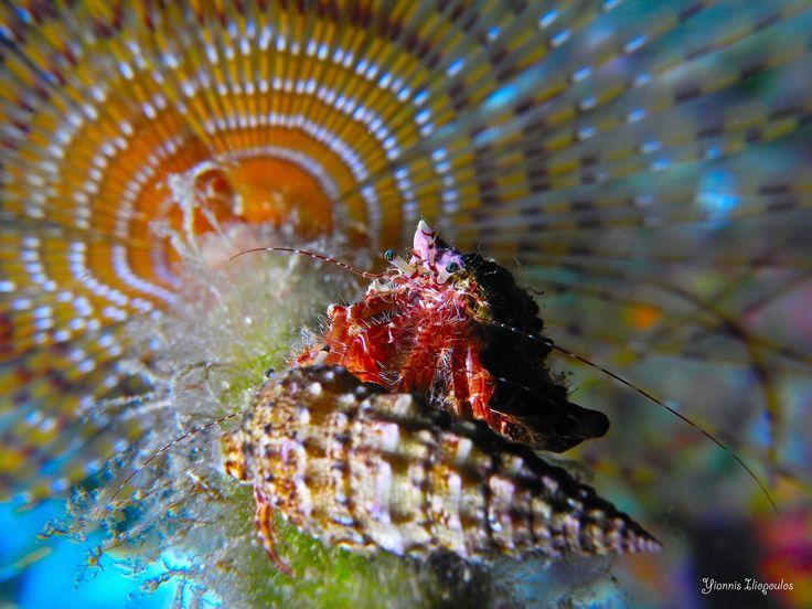 Pagurus anachoretus behind spirograph worm   Underwater Photography by Yiannis Iliopoulos