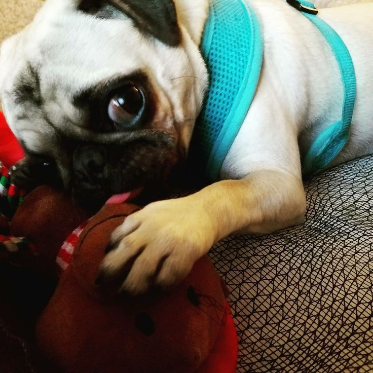 """Like if your #Pug is also a #toy addict! Thank you @hisroyalpugness  ~ """"Don't take my toy!!"""" ~ #pugs #puggies #pug"""