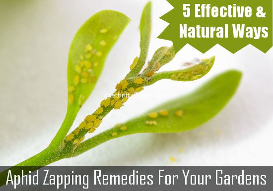 Aphids got your garden down? Well, take care of the problem frugally and naturally with these 5 at home solutions to get rid of aphids in your garden