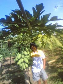 agriculture: RAISING PAPAYA   agriculture, plantation and fisheries   Scoop.it