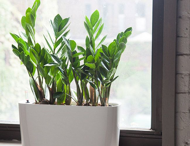 153 Best Images About Buy Indoor Plants Indoor Palms And