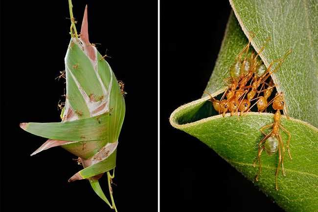 Animal Architects- Australia Weaver Ants -Native to Central Africa and South-East Asia, the Weaver Ants use live leaves bound by silk they produce to make their nests. While smaller nests are made of a single leaf, some nests can reach sizes of half a meter, comprised of many leaves.