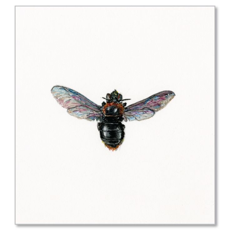 Carpenter Bee by Jessica Bosworth Smith Watercolour H210mm x W150mm R800 © Jessica Bosworth Smith