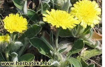 LIŠAJEVICA - Hieracium pilosella   HERBATEKA