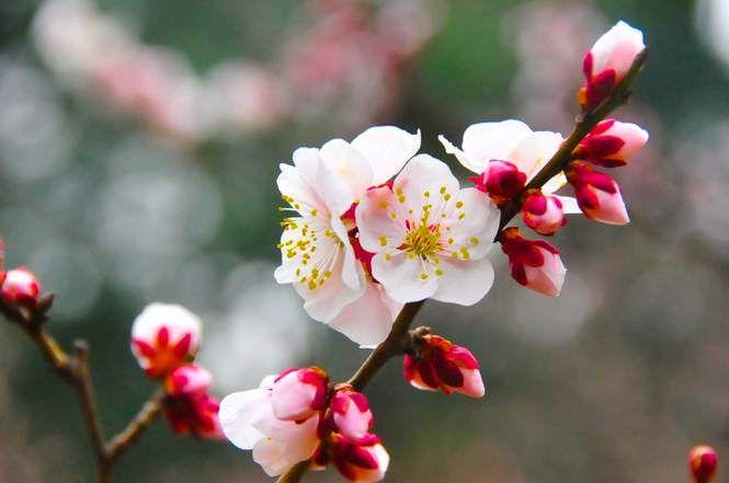 Photo Floraison - Tokyo - GEO communauté photo- cerisier