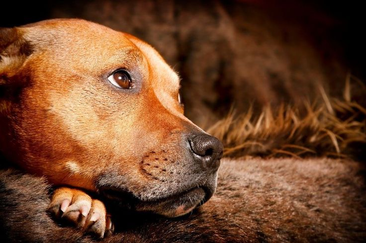 Red Staffy (English Staffordshire bull terrier ) Aaaaw looks like my Sonny <3
