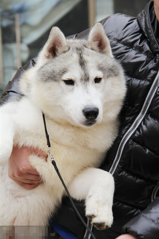 22 best images about a Siberian Husky on Pinterest ...